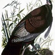 Audubon: Turkey Poster