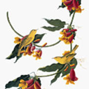 Audubon: Vireo, 1827-38 Poster