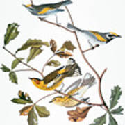 Audubon: Warbler, (1827-1838) Poster