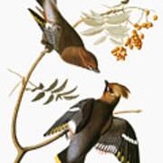 Audubon: Waxwing Poster