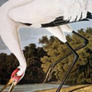 Audubon: Whooping Crane Poster