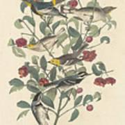 Audubon's Warbler Poster