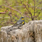 Audubon's Yellow Rumped Warbler Poster