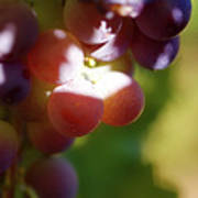 Auntie Thelma's Grapes - Ripening Poster