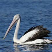 Australian Pelican B Poster