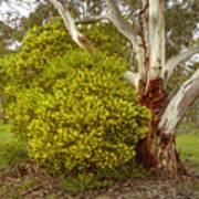 Australian Wattles Bush And Candlebark Gum Tree Poster
