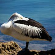 Australian white pelican Poster
