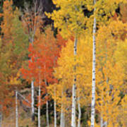 Autumn Aspen Trees Poster