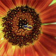 Autumn Beauty Sunflower Poster