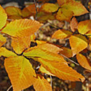 Autumn Beech  Poster by Michael Peychich