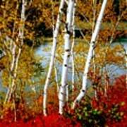 Autumn Birch Lake View Poster