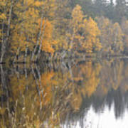 Autumn Birches On The Shore Of Lake Poster
