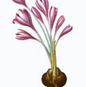 Autumn Crocus Poster