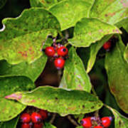 Autumn Dogwood Berries Poster