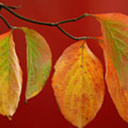 Autumn Dogwood Leaves On Red Poster