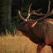 Autumn Elk In Cataloochee Valley Textured Poster