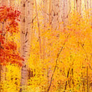 Autumn Forest Wbirch Trees Canada Poster