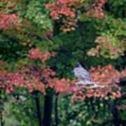 Autumn Hawk Square Poster