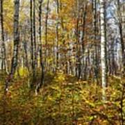 Autumn In The Birches Forest Poster