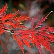 Autumn Japanese Maple Poster