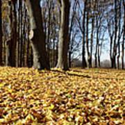 Autumn Maple Forest - Massachusetts Usa Poster