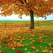 Autumn Maple Tree And Leaves Poster