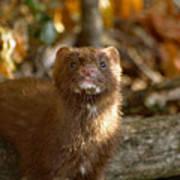 Autumn Mink Poster