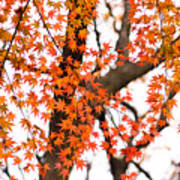 Autumn Red Leaves On A Tree   Poster