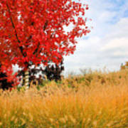 Autumn Red Maple Poster