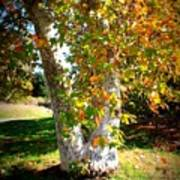 Autumn Sycamore Tree Poster