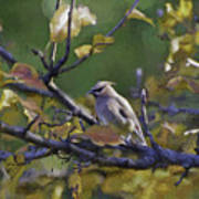 Autumn Waxwing 2 Poster