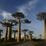 Avenue Des Baobabs Poster