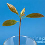 Avocado Seedling Poster