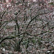 Awash In Cherry Blossoms Poster
