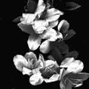Azaela Blossom In Black And White Poster