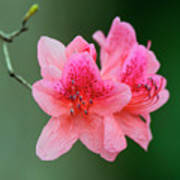 Azalea Blooms On A Green Background Poster