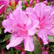 Azalea Garden Art Prints Pink Azaleas Flowers Baslee Troutman Poster