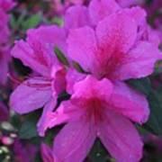 Azaleas In Springtime Poster
