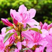 Azaleas Pink Azalea Flowers Artwork 12 Landscape Art Prints Poster