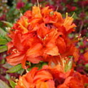 Azaleas Rhodies Art Prints Azalea Flowers Giclee Baslee Troutman Poster