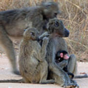 Baboon Family Poster