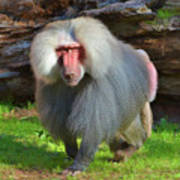 Baboon Stalking Poster
