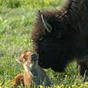 Baby Buffalo And Mother Poster