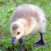 Baby Canada Goose Poster