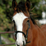 Baby Draft Horse Poster