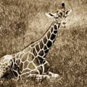 Baby Giraffe In Grasses Poster