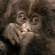 Baby Gorilla Close-up Hiding Mouth With Hands Poster
