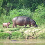 Baby Hippo 1 Poster