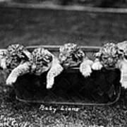 Baby Lions, C1900 Poster