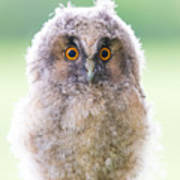 Baby Long-eared Owl Poster